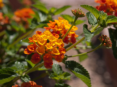 Lantana - Ultra Yellow