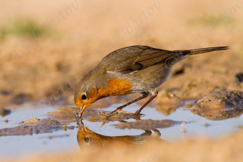 אדום החזה European Robin (Erithacus rubecula)