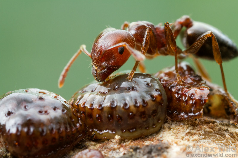 Inside a carton shed, a Crematogaster acrobat ant gathers honeydew from scale insects.  Kibale forest, Uganda