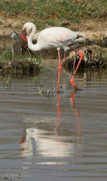 FlamingoK-1.jpg