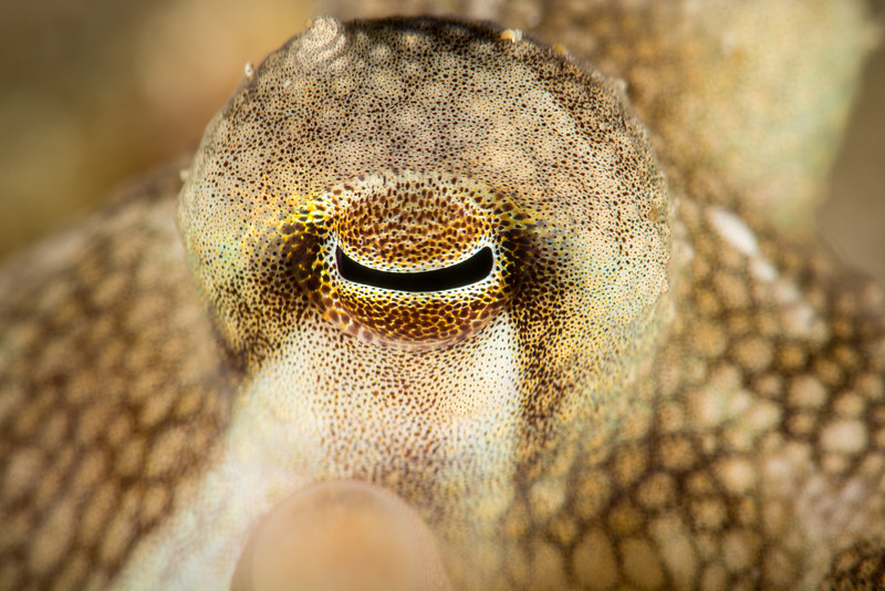 Eye of Coconut Octopus