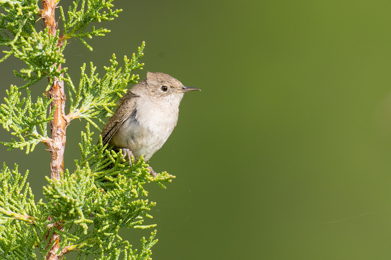 House Wren - Sierra County, CA, USA
