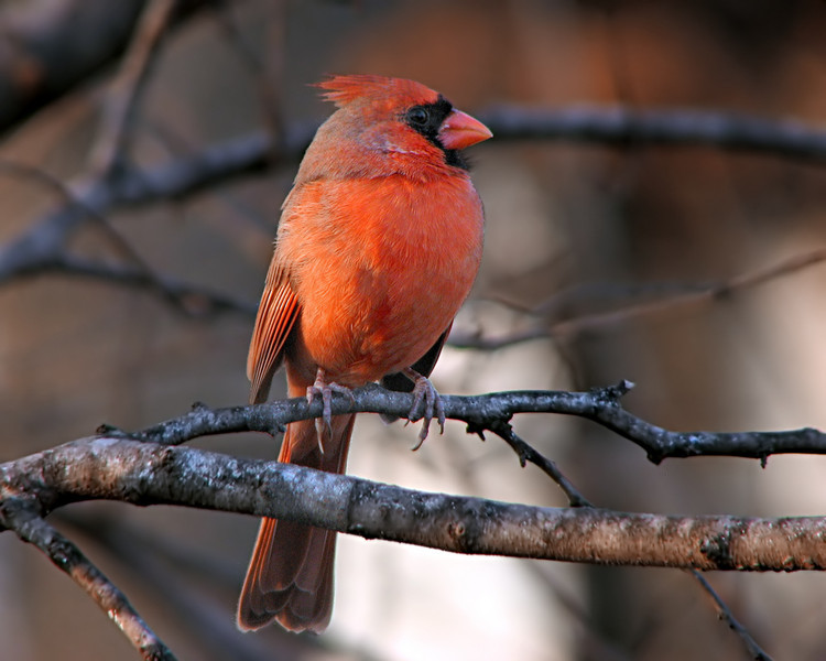 cardinal_9357.jpg