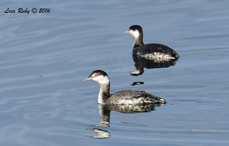 Horned Grebes - 12/11/2016 - Mission Bay east