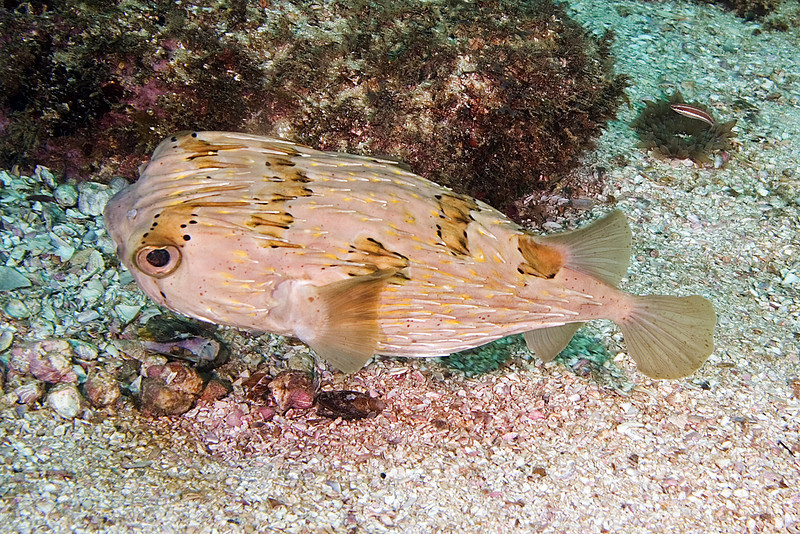 Spiney Pufferfish 1.jpg