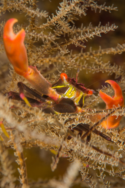 Black Coral Crab, grows to 2 cm
