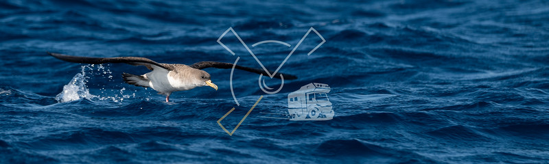Cory's Shearwater on the waters of the Atlantic Ocean in the Azores Islands.