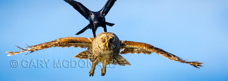 Yellow Warbler, Osprey, and Barred Owl Tour  - Doug Gardner