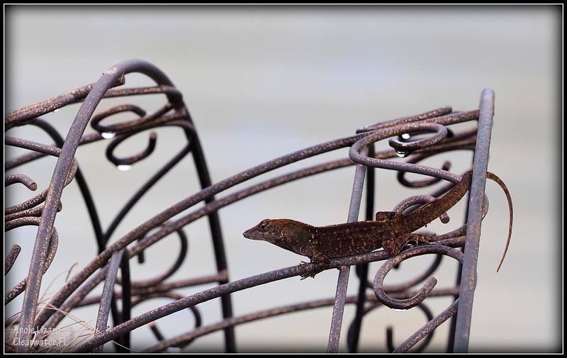 2015-09-29_P9290086_ anole lizard,Clearwater,Fl..JPG