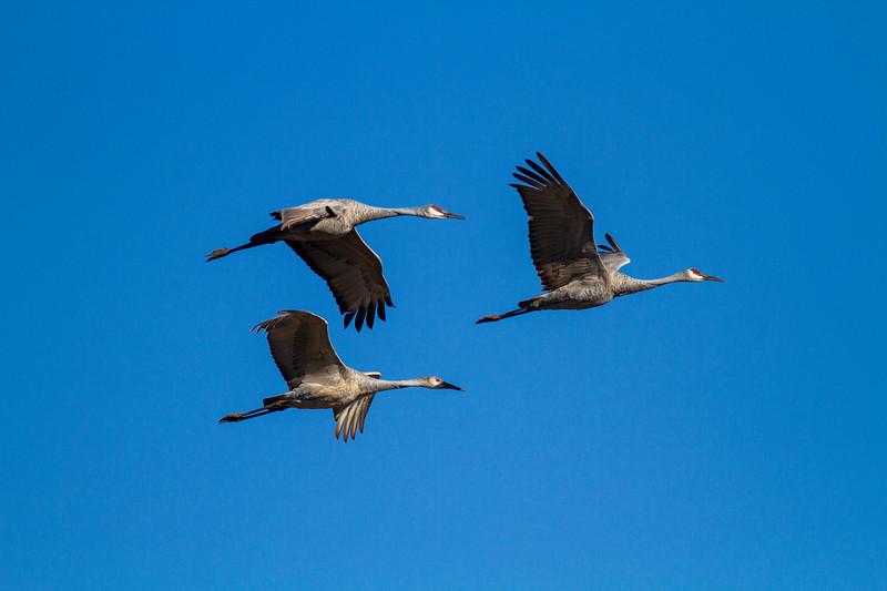 Sandhill Crane Sherburne National Wildlife Refuge Sherburne County MN IMG_5221.jpg