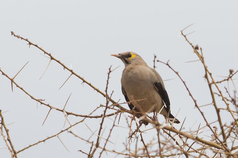 Wattled Starling - Lake Manyara National Park, Tanzania