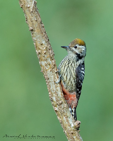 Woodpeckers of India