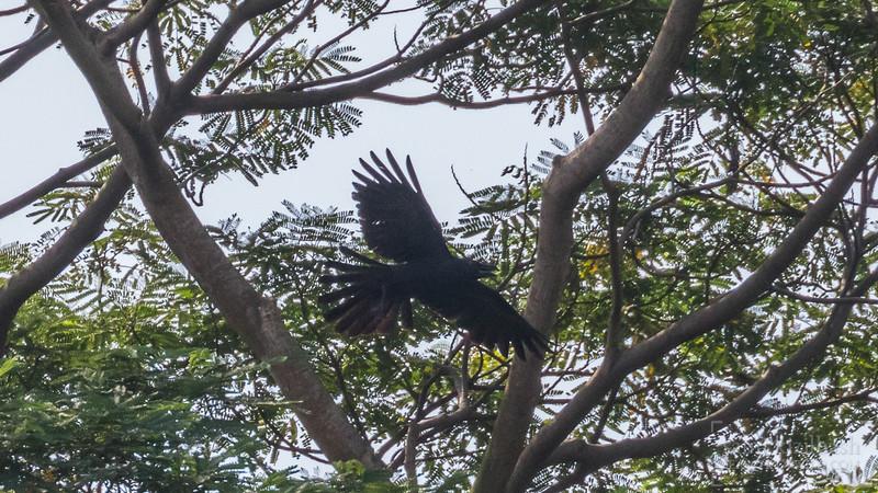 Large-billed Crow.jpg