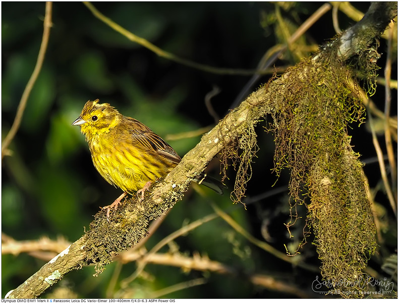 Yellowhammer in the morning