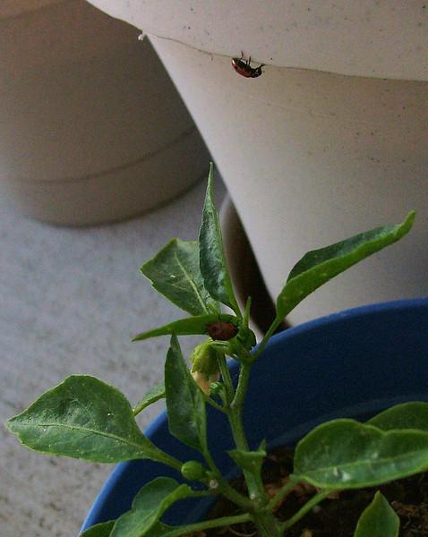peppered ladybug