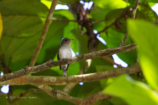 Ashy-Breasted Flycatcher
