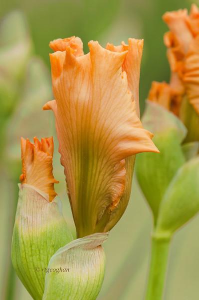 Bearded Iris Good Show