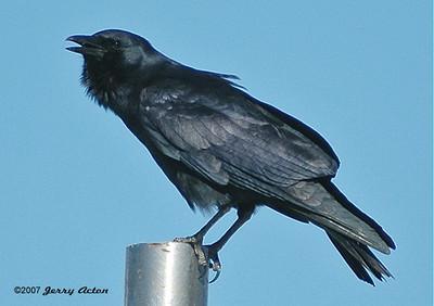 Crow - Fish Crow