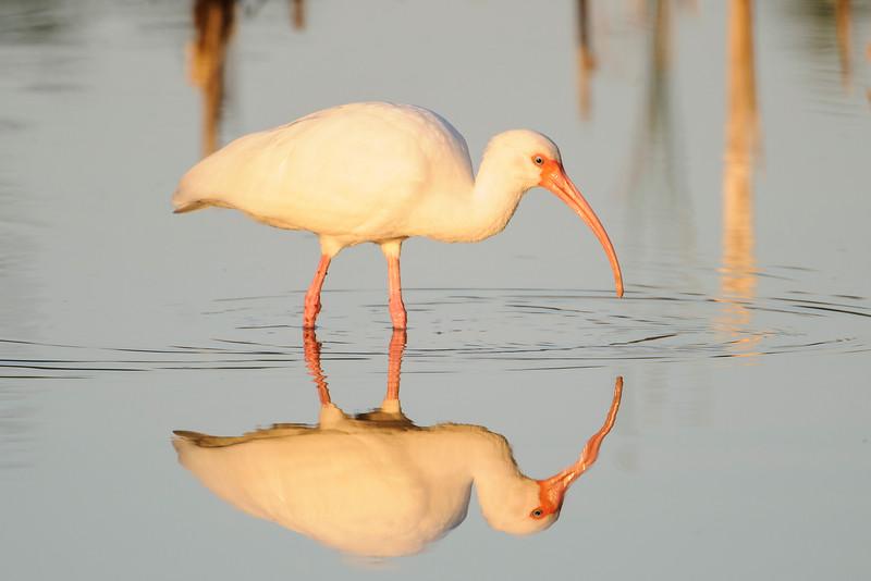 Ibis - White - Bailey Tract - Sanibel Island, FL