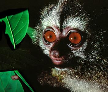Panama Monkeys