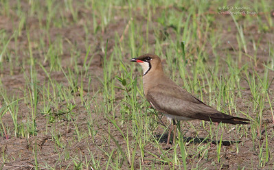 Glareolidae - Coursers, Pratincoles