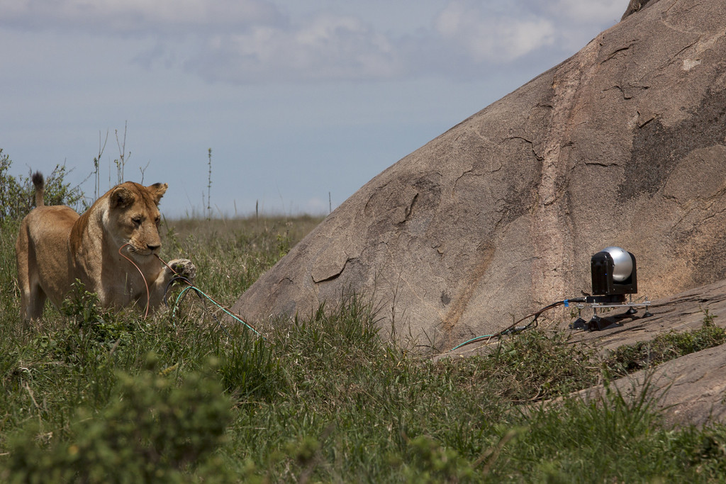. An inquisitive young lion goes in for a closer look at one of the Africa teams state of the art remote cameras. Meerkats, elephants and, most of all, lions put the technology through its paces in the African bush.   Discovery Channel