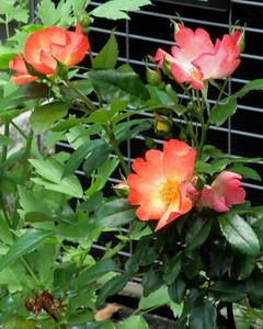 Home Gardens - June 9, 2013
