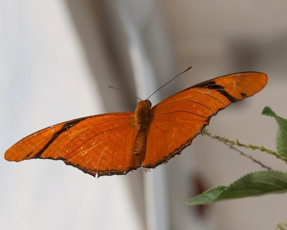 4/10 Avow Butterfly Release