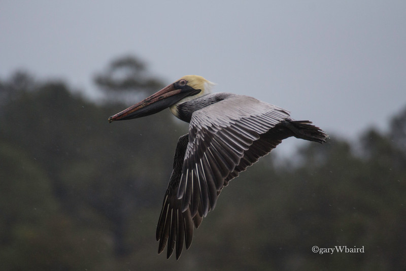 Pelican Downstroke