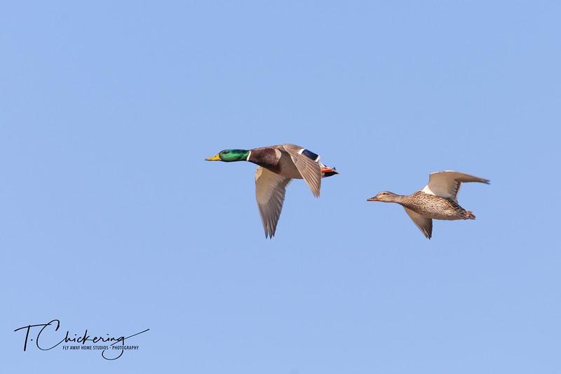 Mallard Pair in Flight - Copy.jpg
