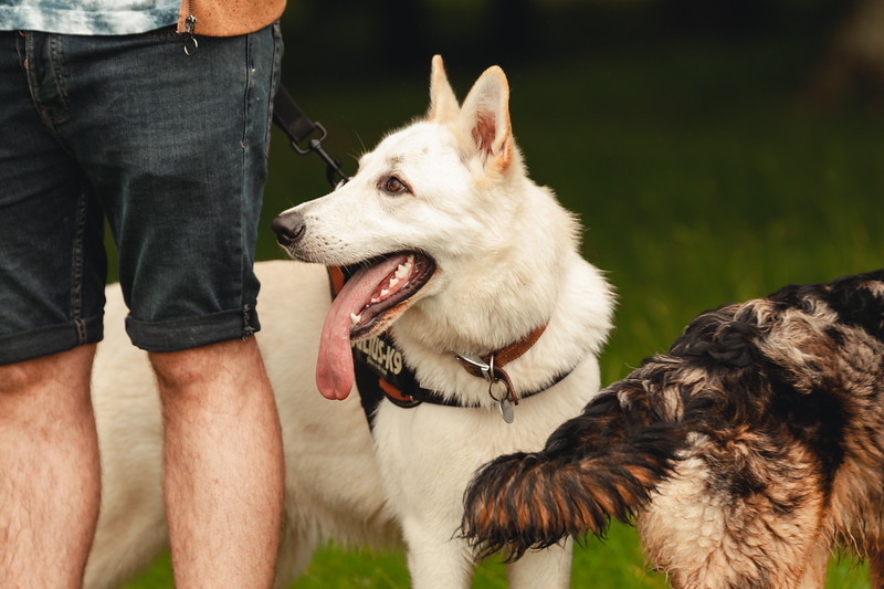 Drew_Irvine_Photography_2019_Indi_Puppy_Litter_Pack_Walk_Petworth_Park-7.jpg
