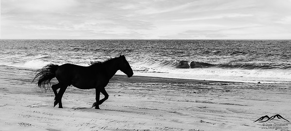 Horses of the Currituck Banks