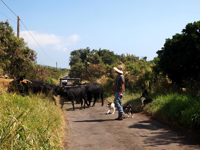 Pi'ilani-Highway-cattle-stop.jpg