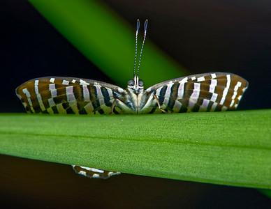 Riodinidae (Metalmark Butterflies)