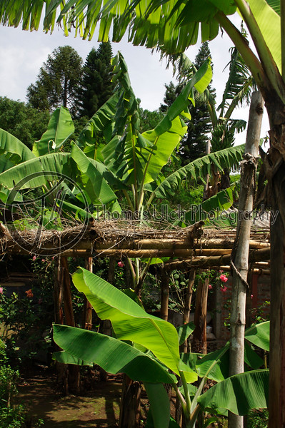 These are banana trees surrounding the small shelters erected to shade young coffee plants from the full force of the tropical sun. 