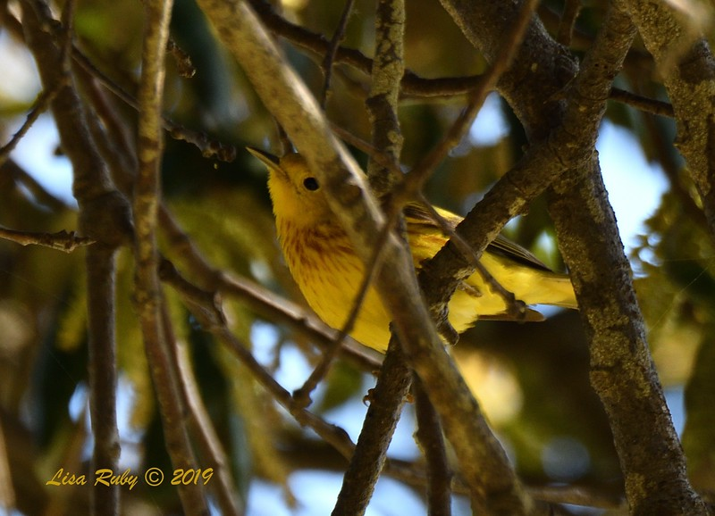 Yellow Warbler  - 5/24/2019 - Robb Field