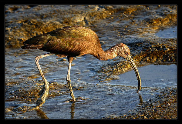 Ibis in the Mud  At sunset, an immature (non-adult) white-faced ibis searches through the exposed mud at low tide.  Baylands Park & Nature Preserve Palo Alto, California  09-APR-2010