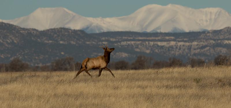 American Elk  Cervus elaphus