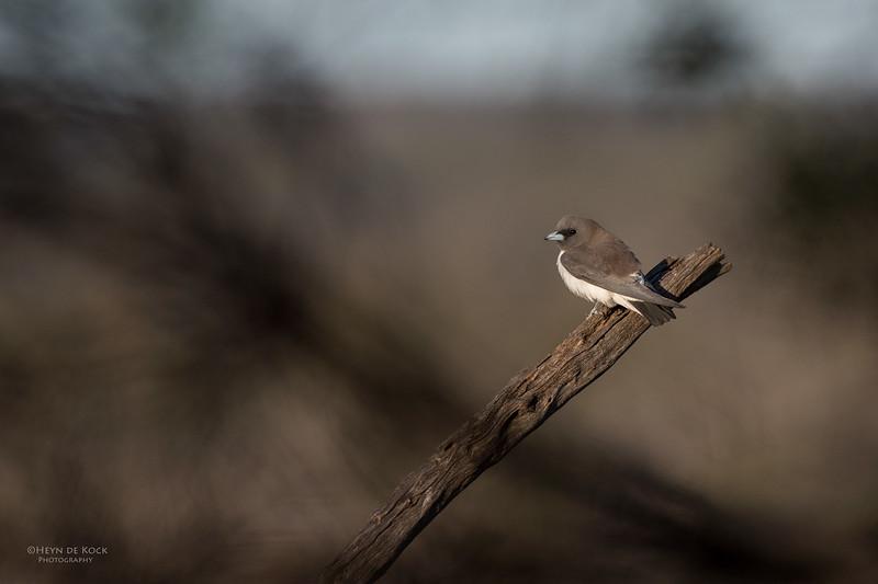 White-breasted Woodswallow, Waikerie, SA, Aus, Nov 2014-1.jpg