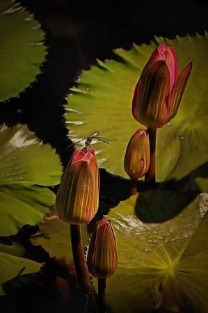 Longwood Gardens Water Lilies