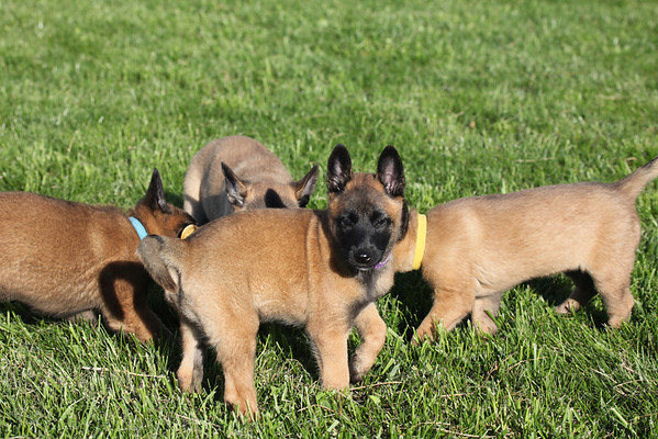 Essor / Jack puppies 9_22_12