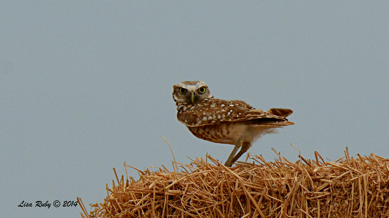 Burrowing Owl - 7/27/2014 - Carter and Fites area Imperial Valley