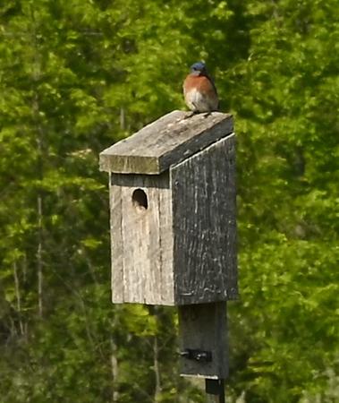 Eastern Bluebird on nest box near sewage lagoons , in Area 1 (Photo by Gerry McKenna)