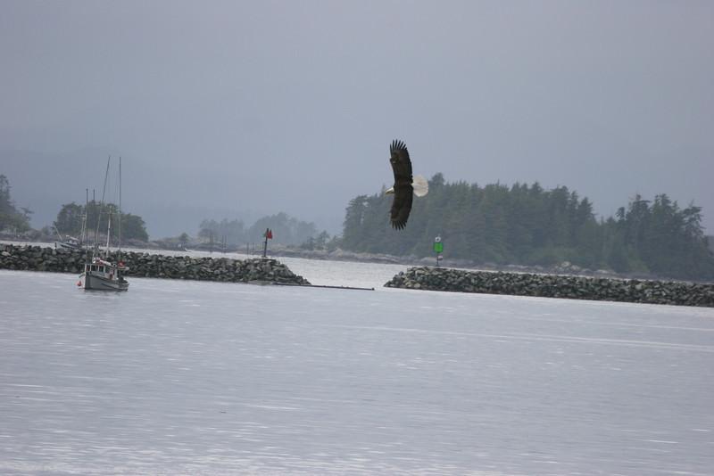 Bald Eagle fishing as we leave Sitka