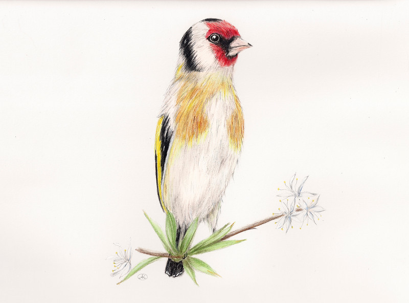 Goldfinch_cleaned.jpg