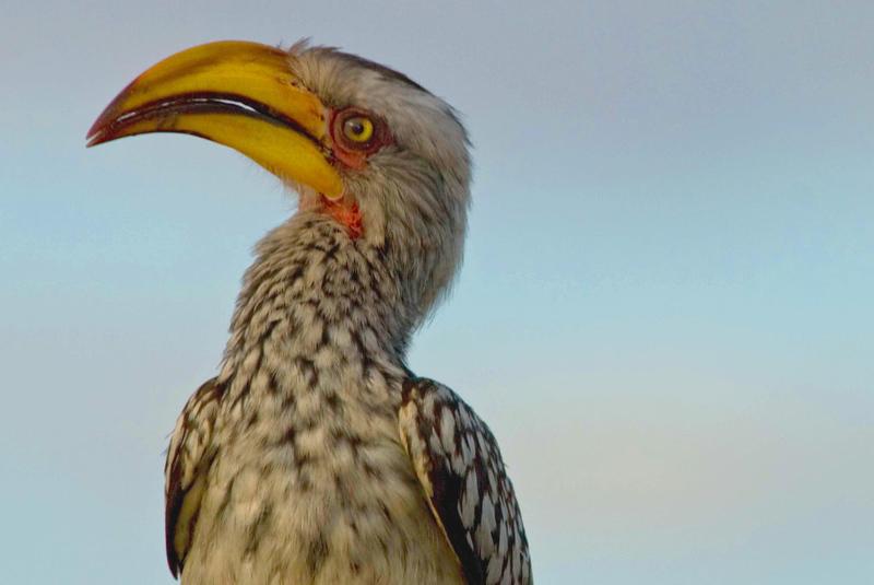 Hornbill1.jpg