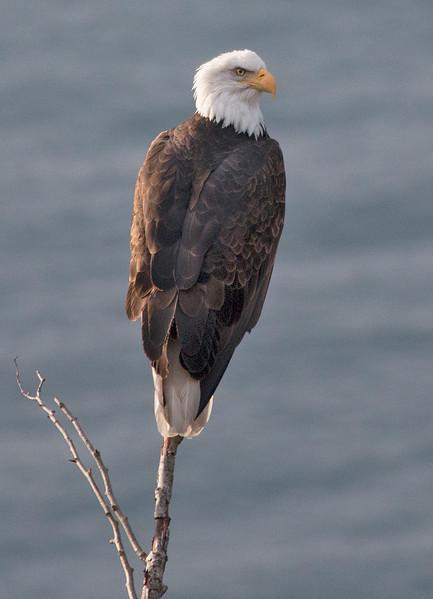 Bald Eagle on a Snag