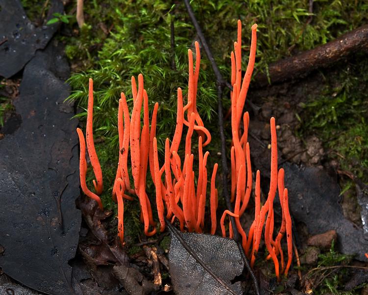 Clavulinopsis corallinorosacea