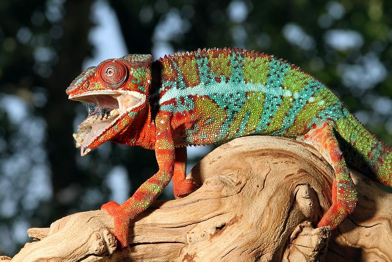 Chameleon Eating Mantis.jpg