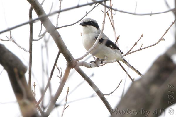 2013-04-09 Riverlands Migratory Bird Sanctuary